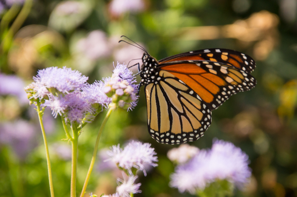 A monarch rests at one of ACU's butterfly gardens.