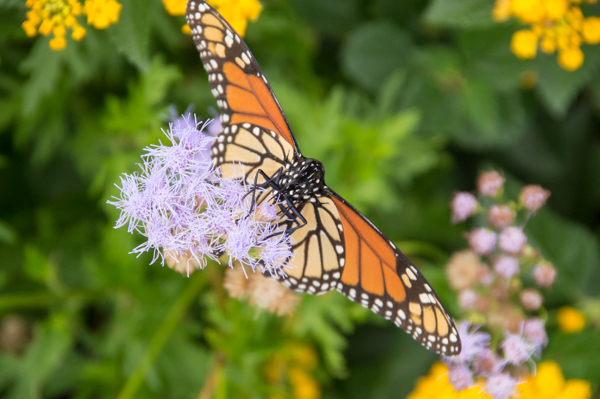 A monarch's lower wings are lighter in color than the upper ones. Queen butterflies have the same dark orange colors above and below.