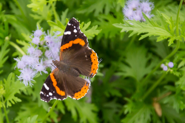 Red Admiral buttterfly (Vanessa atalanta)
