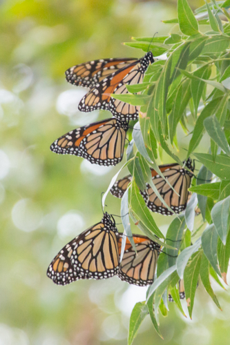 Monarchs also like to gather on pecan trees on the ACU campus.