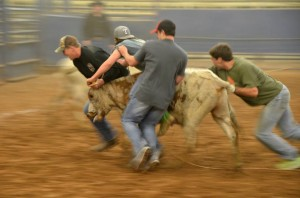 Four guys wrestling a steer.