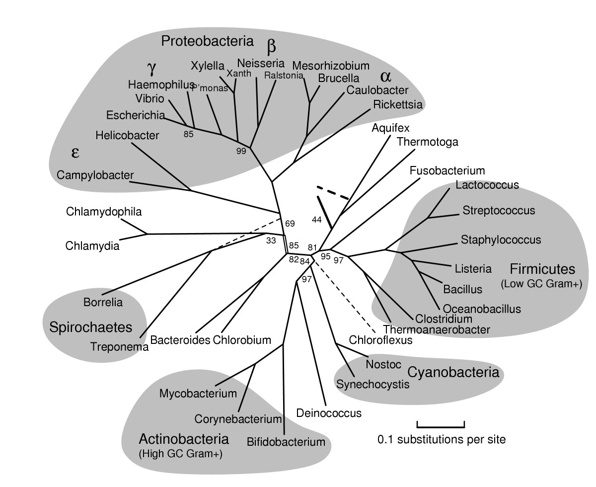 Example phylogeny of domain Bacteria from BMC Evolutionary Biology 2005, 5:34
