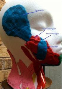 Jaw muscles - picture 2