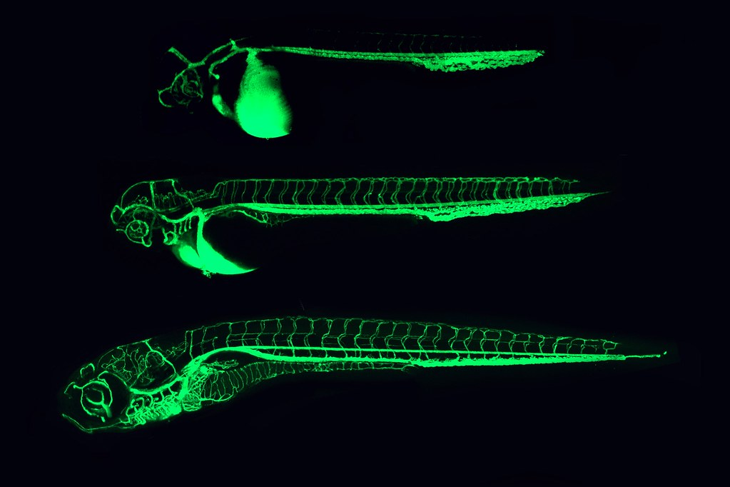 Zebrafish photo