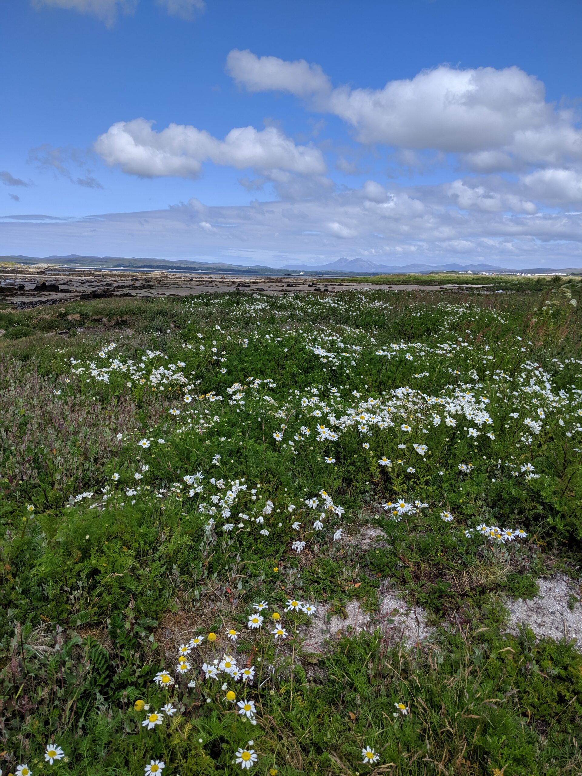 A field of white daisies in the foreground, with the village of Bowmore on the far right in the distance. On the horizon are peaks of the island of Jura.